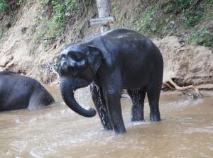 Indischer Elefant in Thailand